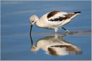 THE AVOCET